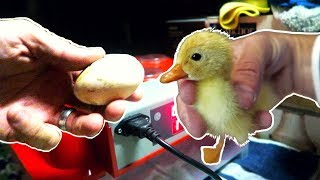 Incubating Duck Eggs from START TO FINISH | Rite Farm 3600 Incubator