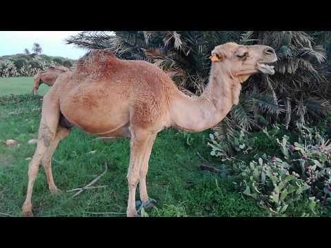 Верблюд жрет кактус