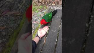 A Rosella eating sunflower seeds
