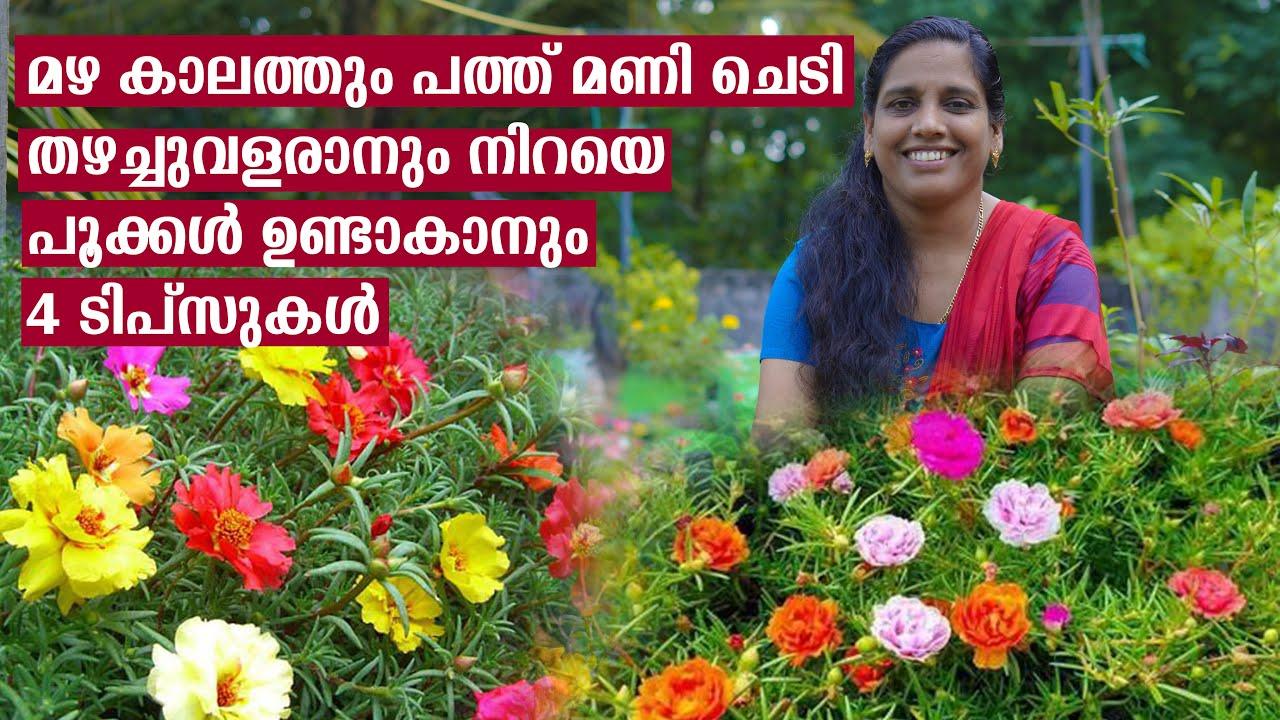 മഴക്കാലത്തും പത്തുമണിയിൽ പൂവുണ്ടാകാൻ 4 ടിപ്സുകൾ | How to grow Portulaca Table rose in Malayalam