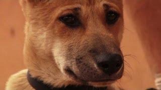 Allarme in Australia per i dingo, a rischio estinzione