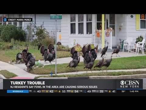 'They're Worse Than Dogs. They're Dangerous': Wild Turkeys Taking Over In Toms River