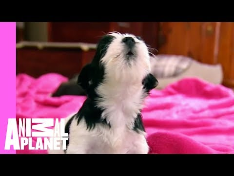 Puppies and Kittens Squeak to Silent Night | Too Cute!