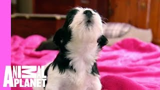 Puppies and Kittens Squeak to Silent Night | Too Cute! thumbnail