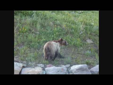 Yellowstone Grizzly Bear Attacks, Mauls, Charges Mt. Washburn Wildflowers.