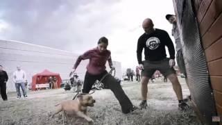 Тренировки питбуля