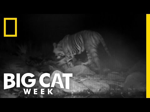 Tiger Camera Trap Success | Lost Land Of The Tiger