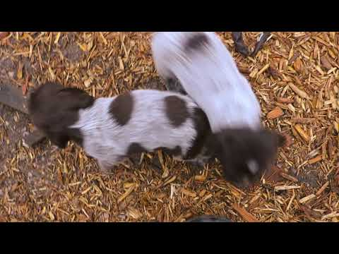 N Litter 6 1/2 Weeks (With Names) Bluestem Kennels Wirehaired Pointing Griffons