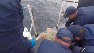 Coast Guard Cutter Cushing crew helps release 27 sea turtles