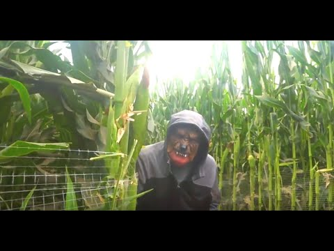 Scary corn maze halloween | Pumpkin patch
