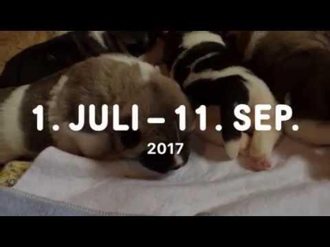 HUNDEWELPEN BABIES - New born American Akita Inu Puppies 14 day old
