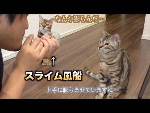 猫たちに初めてスライム風船を見せたら反応が。。。