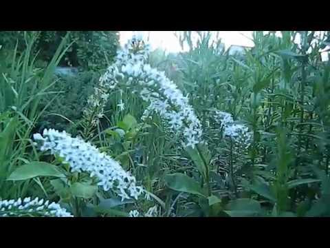 Вербейник клетровидный - растение для белого сада.