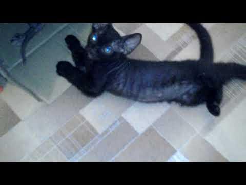 Котята донской сфинкс браш и лысик