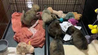 Cairn Terrier Puppies  Rowdy