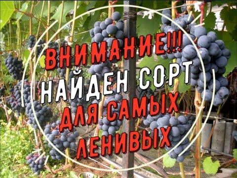 Сорт для ленивых. Виноградник Вадима Точилина
