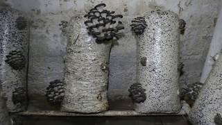 грибы Вешенка. Сравнение Субстрата. Сено и Шелуха. Какой субстрат лучше для выращивания грибов