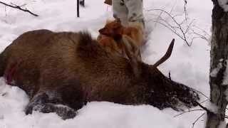 Карело-Финская Лайка. Охота на лося
