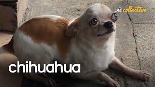Chillin' Chihuahuas