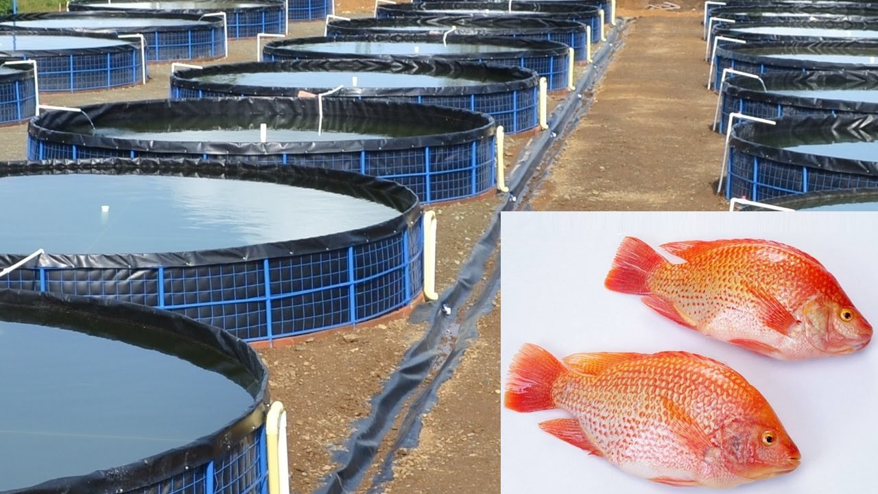 Cultivo de tilapia roja mojarra colombia youtube for Mantenimiento de estanques para peces