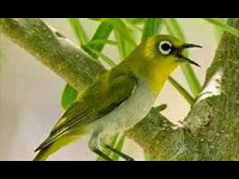 Suara Burung PLECI Masteran PLECI/KACAMATA Super Gacor. By Dava Erlangga