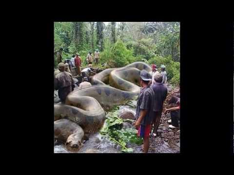 4,000 Pound Anaconda Found in the Amazon?  Real or Fake!