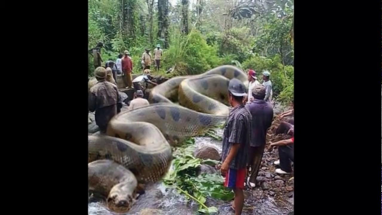 Real anaconda in amazon - photo#2