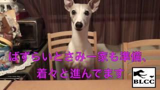 BLCC お知らせ ウィペット イタグレ キング・クイーン決定戦(2015...