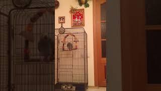 Попугай кроет матом