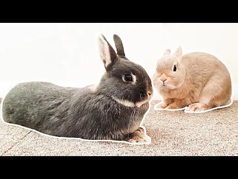 My Bunny Feeding Routine - Netherland Dwarf Rabbits - Family Pet Vlog