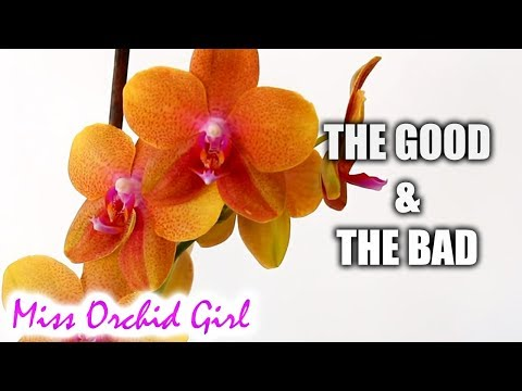 Pros and Cons of growing Phalaenopsis Orchids in a home