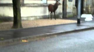 Video du cerf