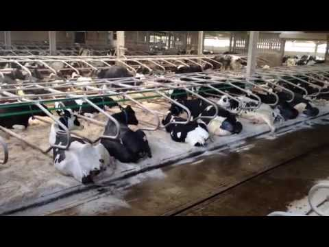 Eavis, Worthy Farm - UK - Dairy Cow Housing