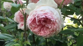 РОЗА-ОЧАРОВАНИЕ . Лучшая английская роза в моем саду. Rosa William Morris