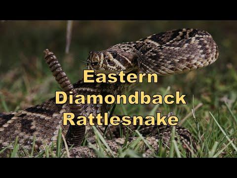 Episode 76 - Eastern Diamondback Rattlesnake (Reptiland)