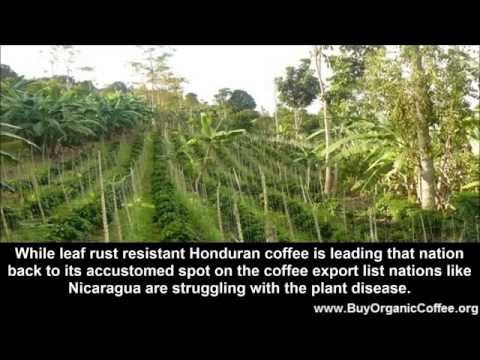 Leaf Rust Resistant Honduran Coffee