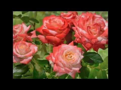 Роза ЧГ Императрица Фарах