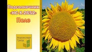 Подсолнух НС Х 2652 в Украине - гибрид под Гранстар