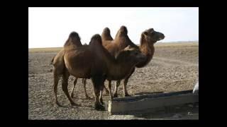 Тэмээн сүргийн говь - Г.Эрдэнэбат