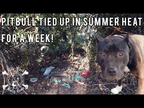 New York Bully Crew| DOG TIED UP IN SUMMER HEAT FOR A WEEK