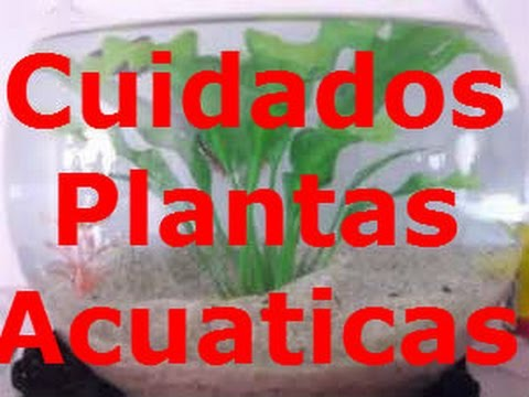 cuidados b sicos plantas acu ticas youtube
