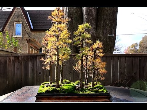 Larch Forest Overwintering Bonsai Trees Nov 2014 Youtube