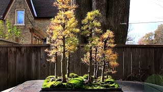 Larch Forest, Overwintering bonsai trees, Nov 2014