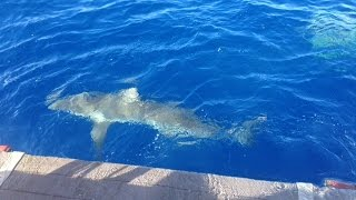 Hawaii Shark Encounter!