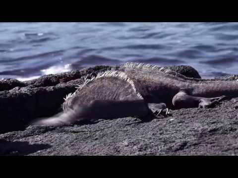 Marine Iguanas - Territorial Dispute