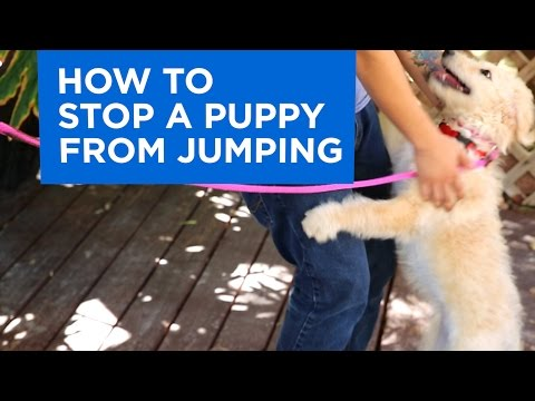 how-to-train-your-puppy-to-stop-jumping