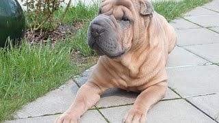 ***How To Potty Train A Chinese Shar-Pei Puppy Free-Mini Course***