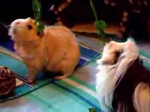 Tribute - Cute Guinea Pigs Jumping for Parsley!