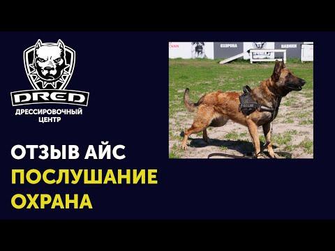 Видео-Отзыв об обучении послушанию и охране бельгийской овчарки малинуа в школе для собак DRED