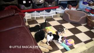 Little Rascals Uk Breeders New Litter Of Beagle Puppies - Puppies For Sale 2016